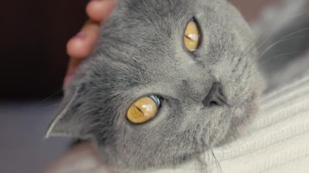 Dívka drží kočku v náručí a hladil ji. Šedá britská krátkosrstá kočka.