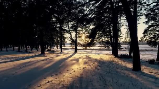 Zimní jehličnatého lesa na slunci při západu slunce