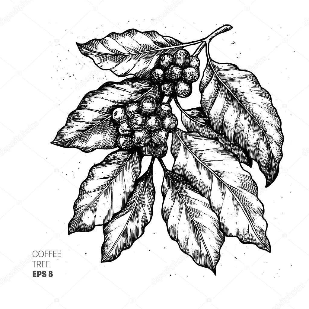 Coffee tree illustration. Engraved style illustration. Vintage coffee. Vector illustration