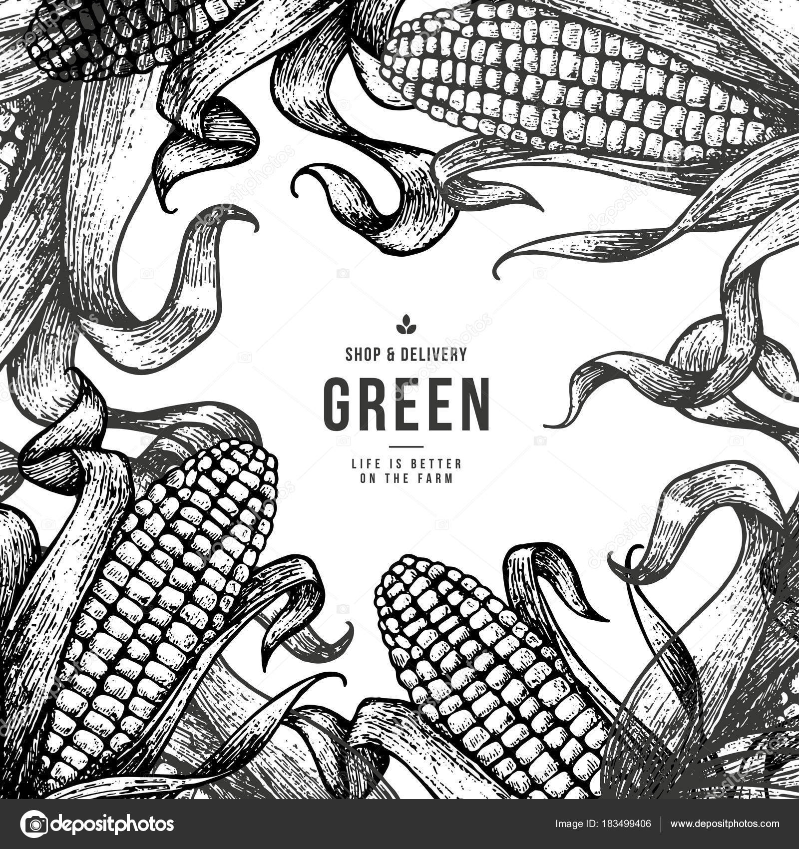 corn on the cob vintage design template botanical corn vector