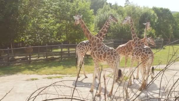 Tschechische Republik, Prag 16. Juni 2017. eine Voliere mit Giraffen im Prager Zoo