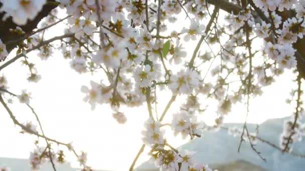 Flowering of almond flowers in the spring time on the plantation