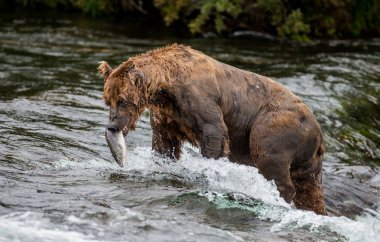 Brown bear with a salmon