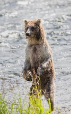 bear standing on hind paws