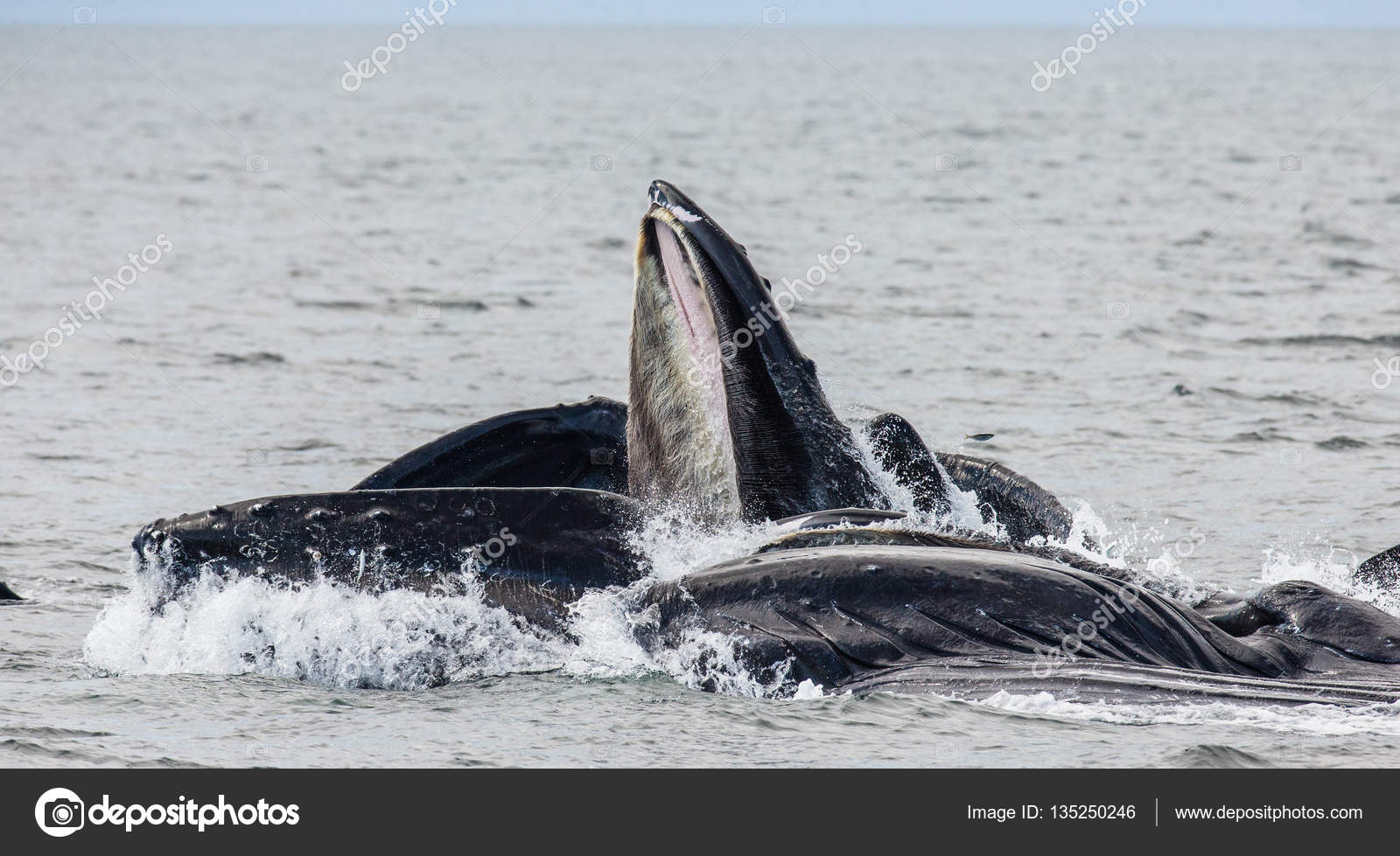 humpback whales above water surface u2014 stock photo gudkovandrey