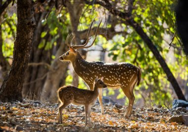 Deer with beautiful horns with baby