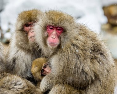 Group of Japanese macaques sitting together