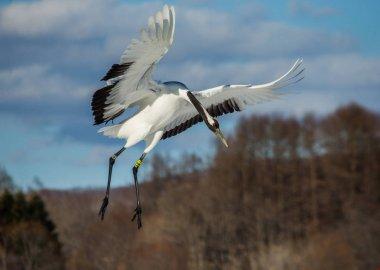 Japanese crane in flight.
