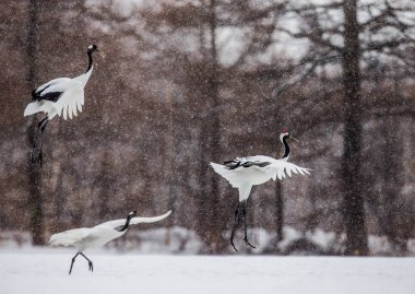 Japanese cranes take off in snowstorm