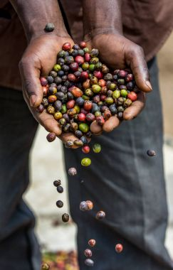 Hands full of grains of ripe coffee