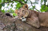Photo Lioness lying on tree