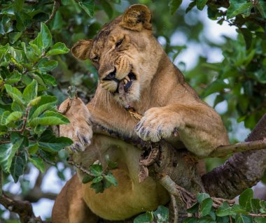 Lioness hides in foliage