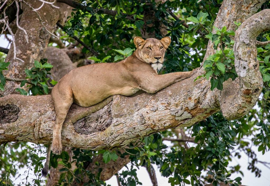 Lioness lying on big tree