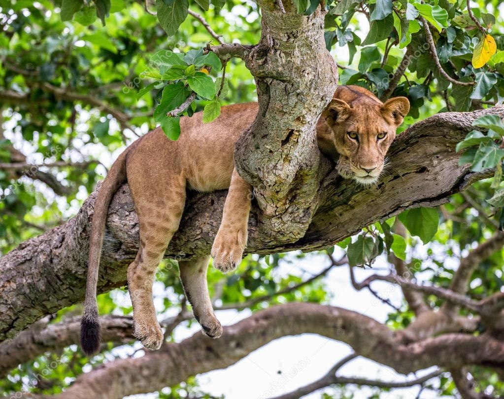 Lioness lying on tree