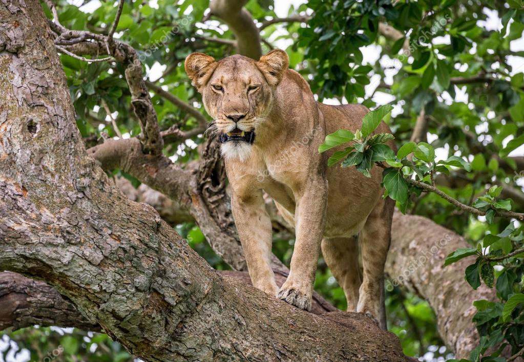 Lioness on big tree