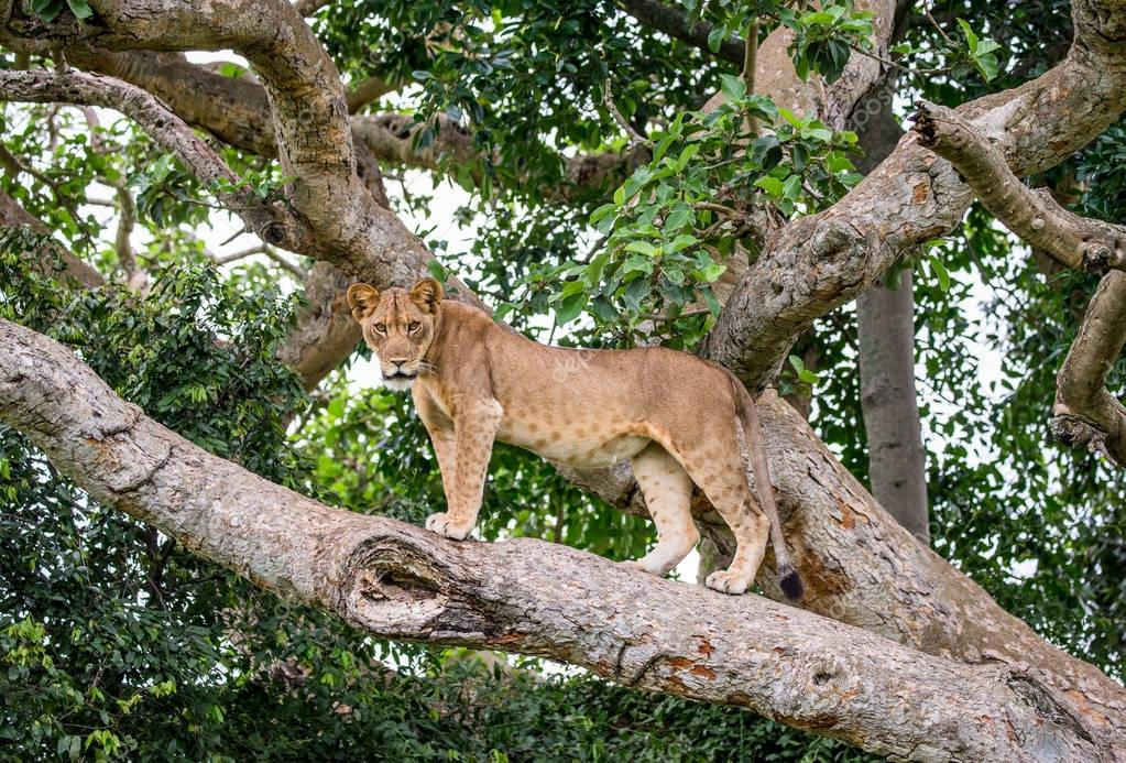 Lioness on big tree