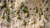 Photo Big colony of Bee-eaters