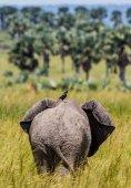 Slon chodí po trávě
