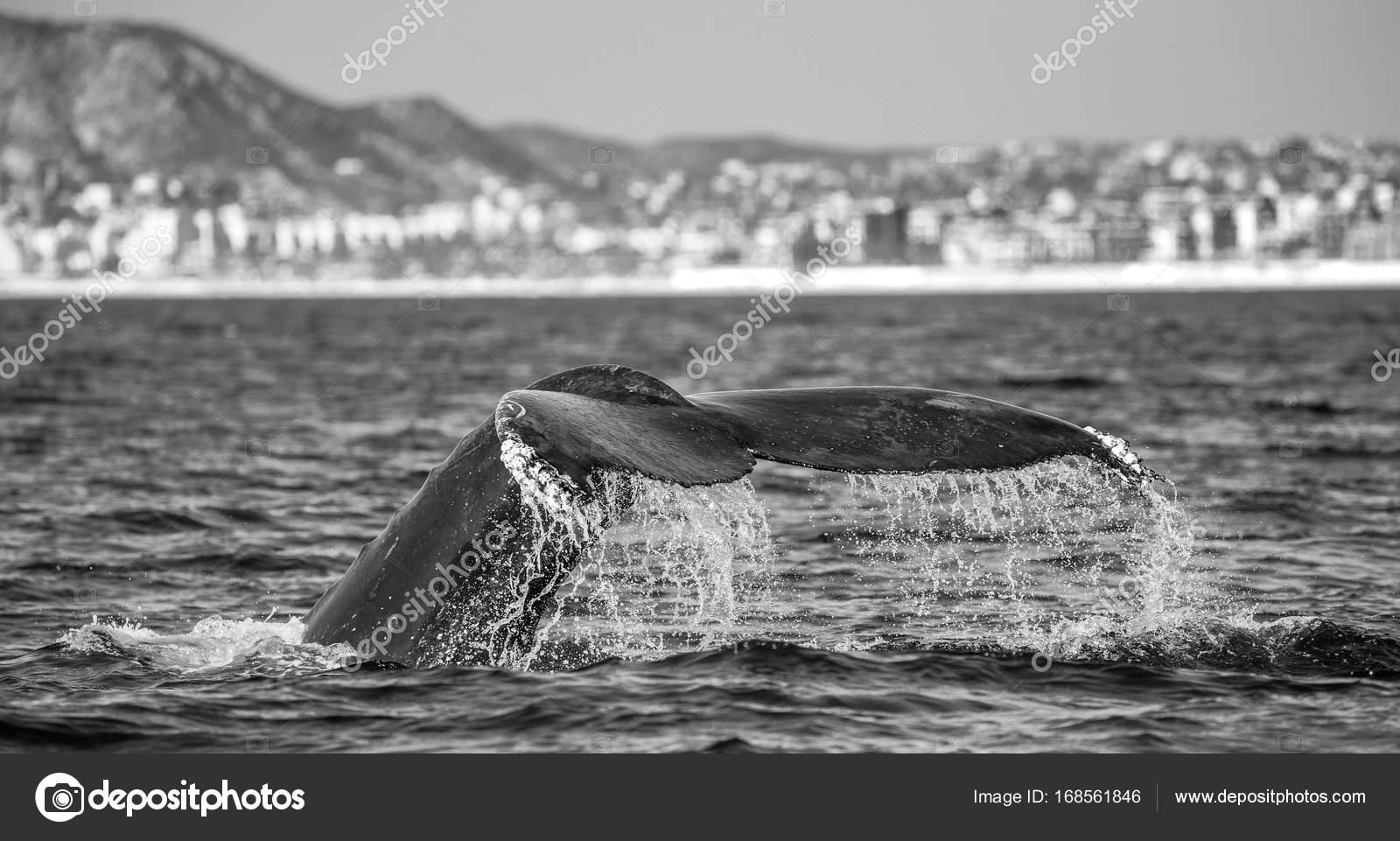 Vasca Da Bagno Balenottera : Coda di balena megattera u foto stock gudkovandrey
