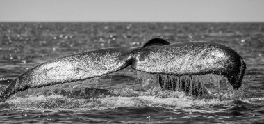 Tail of humpback whale