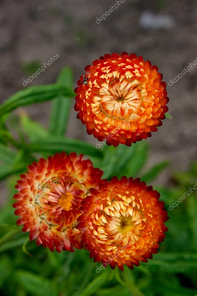 Helichrysum paper daisy straw flower stock photo kostik2photo helichrysum paper daisy straw flower stock photo mightylinksfo