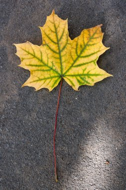 Autumn leaf, green, yellow and orange color, isolated on dark ce