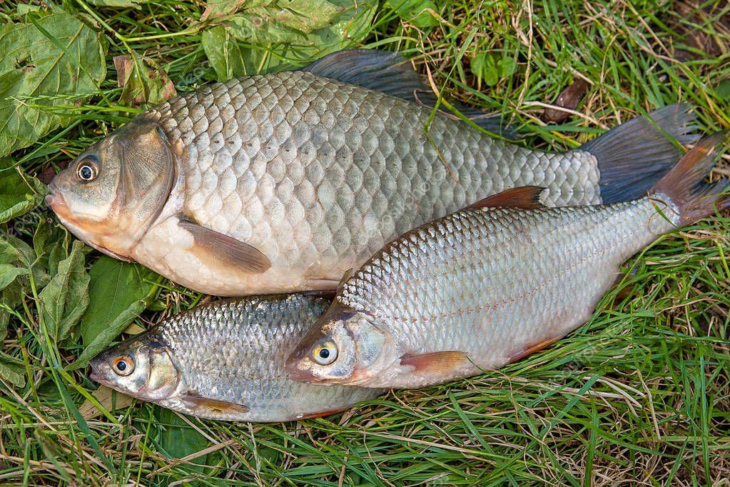 haufen von gemeinsamen brassen fisch fisch karausche