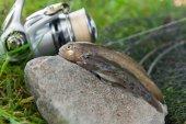 Dvě ryby sladkovodní bullhead nebo kulaté goby ryby jen převzato z