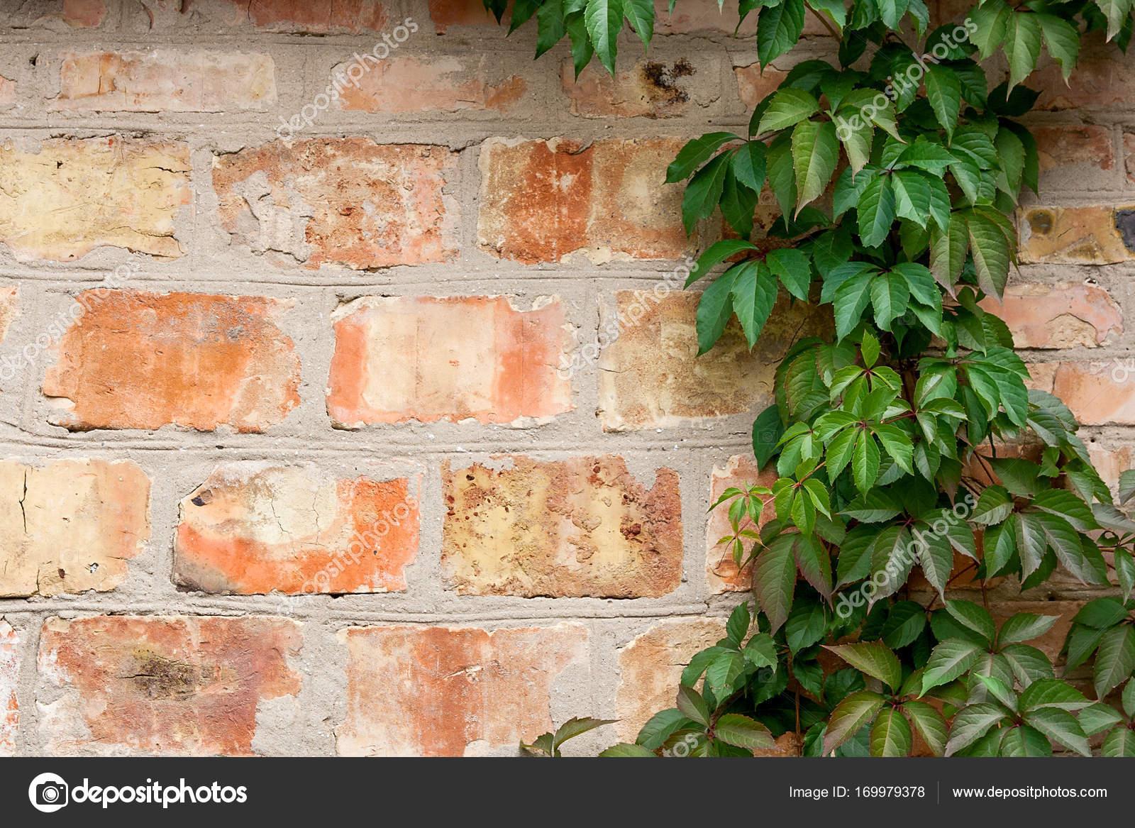 Bakstenen Muur Tuin : Tuin wilde druiven met herfst bladeren op een bakstenen muur