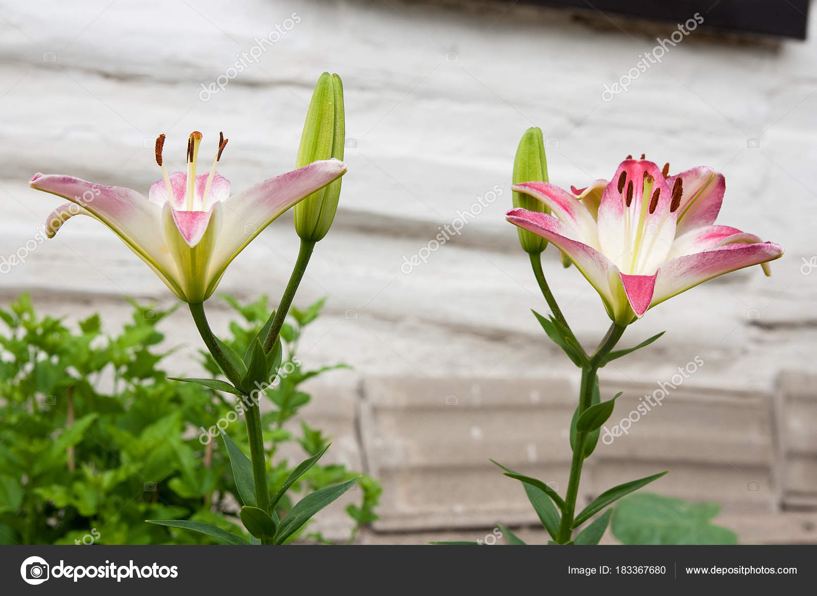 Pink Lily Blooming Flower In The Summer Beautiful Background