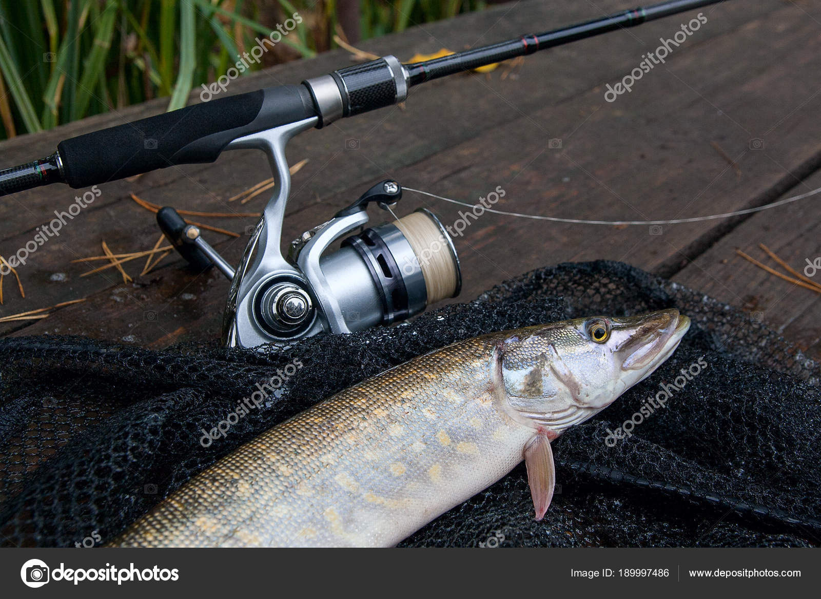 Sibirya roach veya balık