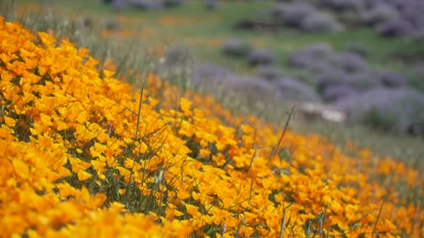 Orange California poppies with purple Royal Lupine in the background