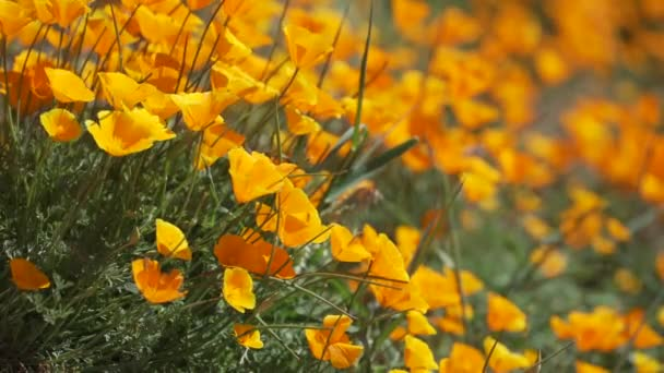 Shallow DOF view of orange California poppies