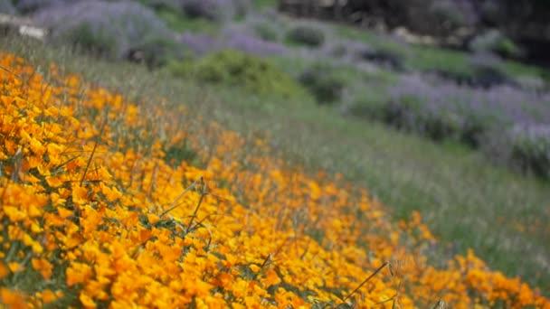 Zářivě oranžové Kalifornie mák poblíž Royal Lupina