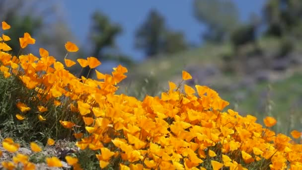 Breeze blows orange California poppies near field of Royal Lupine