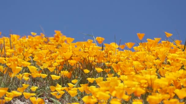 Bright orange California poppies against a bright blue spring sky