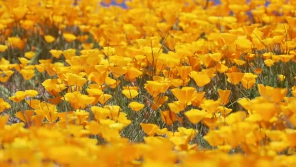 Close up of Bright orange California poppies