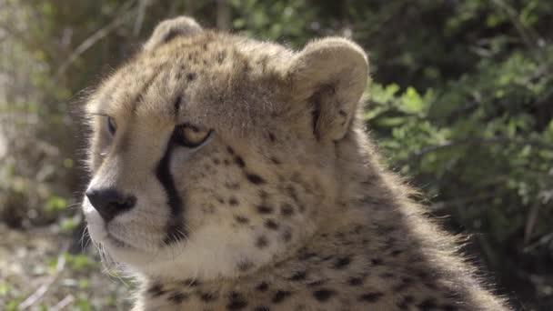 Gepard, sedí na slunci