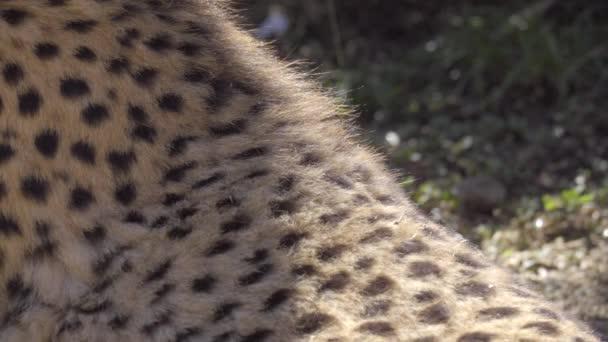 ein Blick auf das Gepardenfell