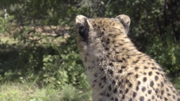 Gepard se chodí mimo rámec