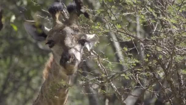 Žirafa, žvýkání na listy stromů