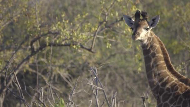 Kruger-egészséges fiatal zsiráf