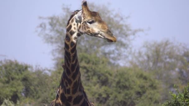 Zsiráf bika nyalogatja a száját víz fogyasztása után