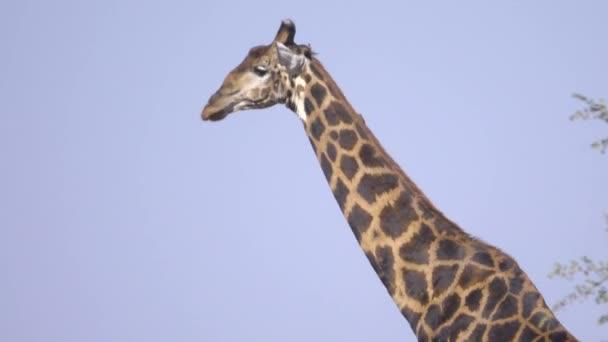 Séta safari zsiráf
