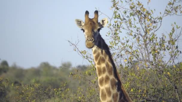 Žirafa na kameru při pohledu