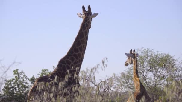 Žirafa a jeho tele