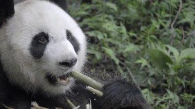 Healthy Panda sits tearing husk of bamboo