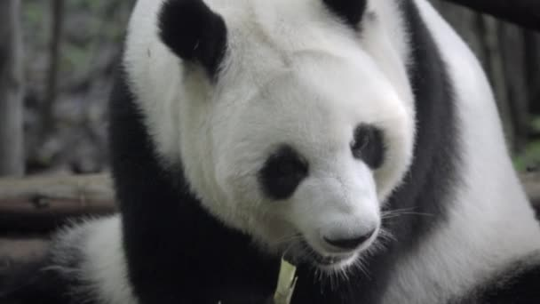 Panda chewing slowly on bamboo