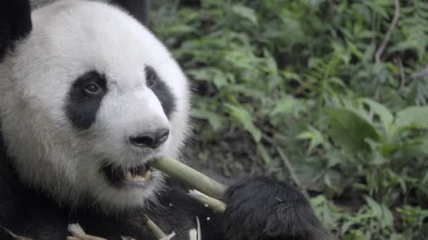 Healthy Panda sits tearing husk of bamboo