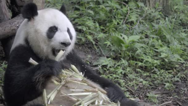 Fat Panda bear chewing bamboo